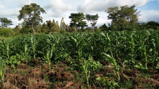 Demo_plot_of_DH04_variety__early_maturing__in_Teso_North__Busia_35_days_after_planting_in_Busia