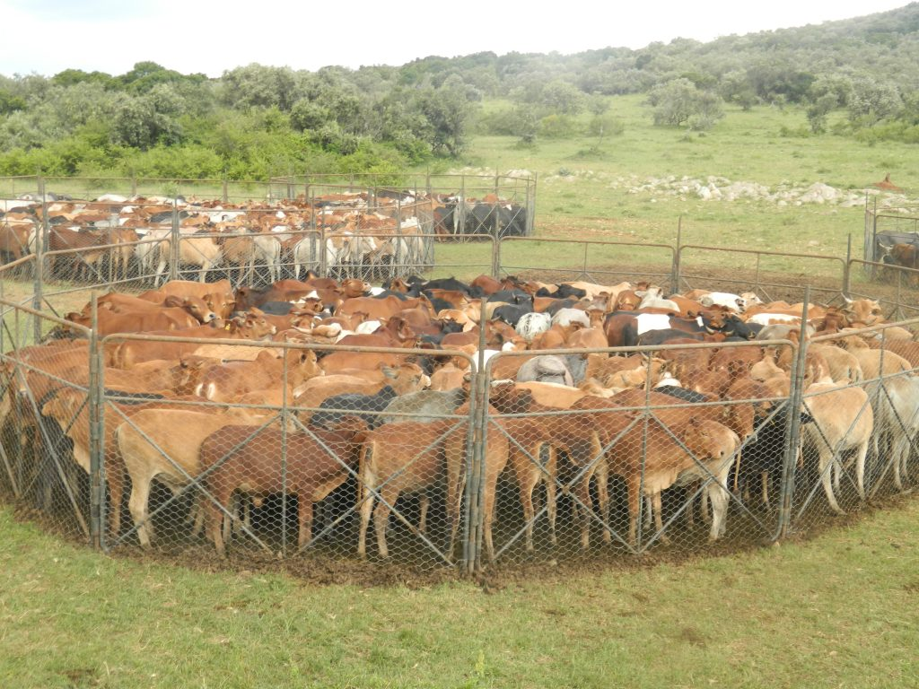 Livestock in the predidator proof movable bomas in the ranch