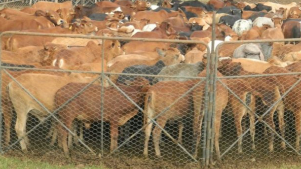 Livestock-in-the-predidator-proof-movable-bomas-in-the-ranche